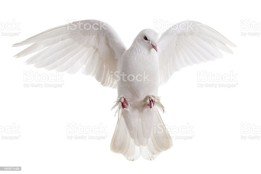free flying white dove isolated on a background stock photo
