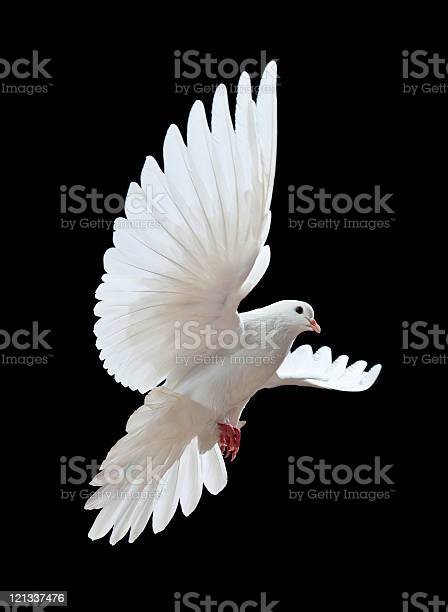 Free flying white dove isolated on a black picture id121337476?b=1&k=6&m=121337476&s=612x612&h=hv7gpyvwmwbmiinwgyvrvhnsjqau rd8bl1v0zseisi=