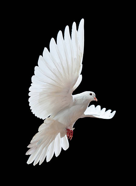 Free flying white dove isolated on a black picture id121337476?b=1&k=6&m=121337476&s=612x612&w=0&h=d31bkii2qiryofoochzfxaupxaz6iy8xristoxky0a4=