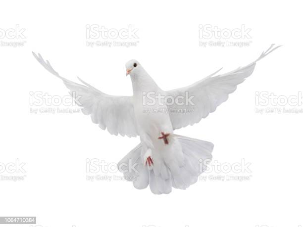 Free flying white dove isolated on a white picture id1064710364?b=1&k=6&m=1064710364&s=612x612&h=mgdwcezrk4is 2q6tr15nkc4rcb4hmojbqjoocwipls=