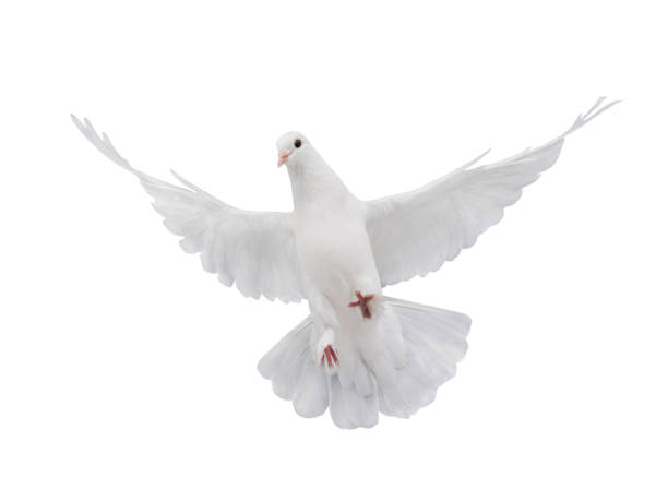 Peace White Bird Free Images Merry Christmas 2021 48 473 White Dove Stock Photos Pictures Royalty Free Images