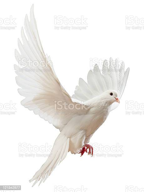 Free flying white dove isolated picture id121342577?b=1&k=6&m=121342577&s=612x612&h=il7vn9oonw3wx  z ptd o9eeb1ppgioejyomqlxsgs=