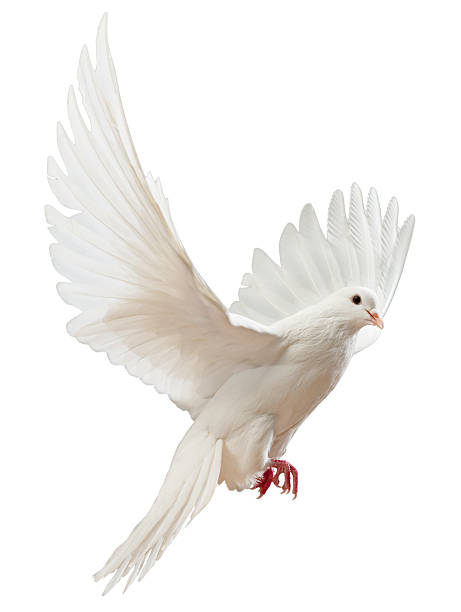 Free flying white dove isolated picture id121342577?b=1&k=6&m=121342577&s=612x612&w=0&h=zpmxpql8ynryzwqvxtxlq yqwzglfrfjrwszx qrejg=