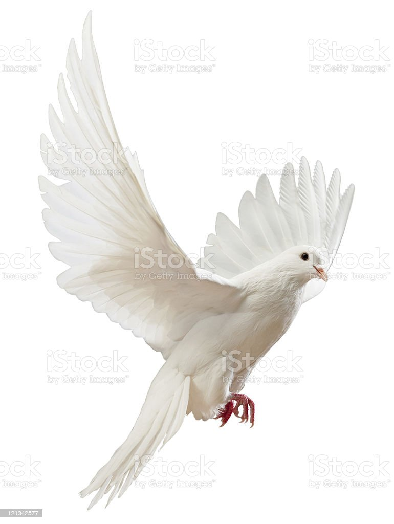 Free flying white dove isolated stock photo