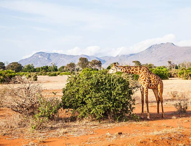 Free giraffe in kenya picture id487175179?b=1&k=6&m=487175179&s=612x612&w=0&h=zxbswcyg2yvuzbafi  eeq9uwvob4quwfierb yrjx0=