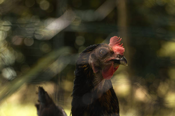 Free hen behind an unfocused metal fence on a farm. stock photo