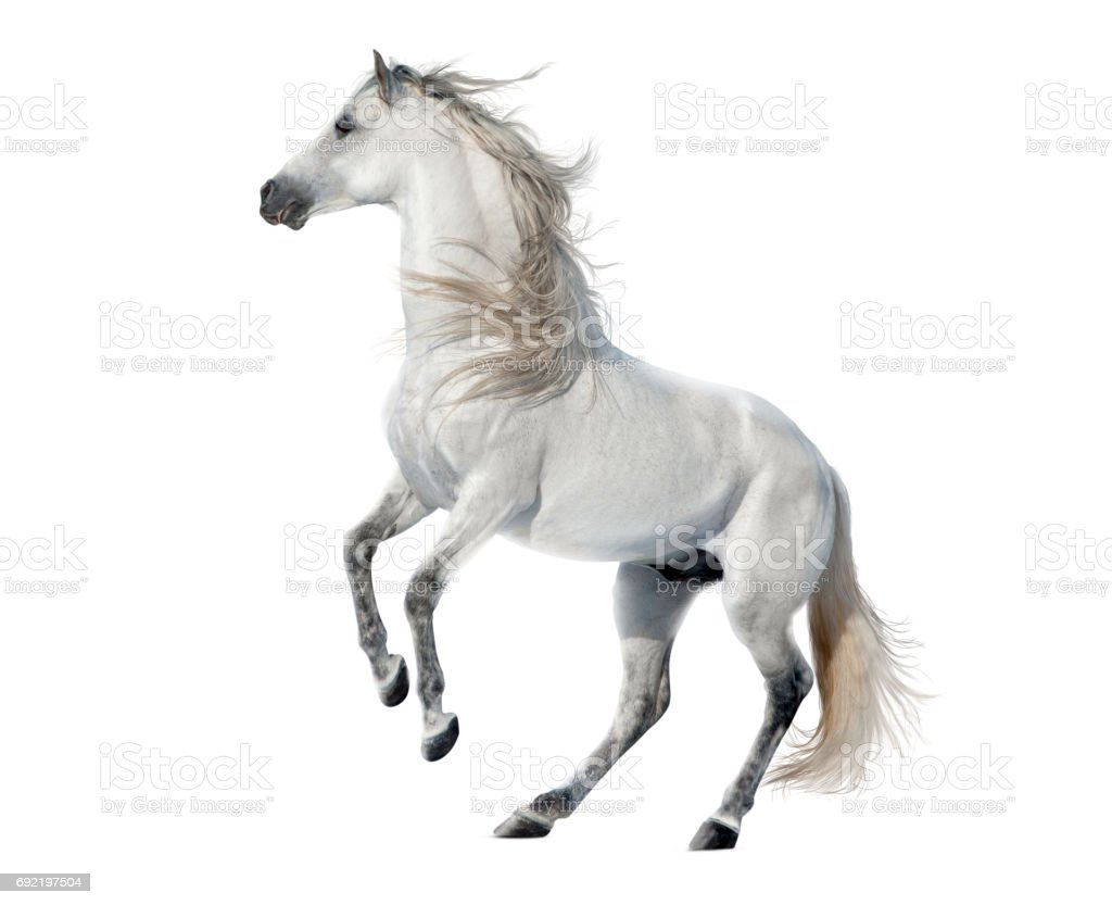 Free horses isolated on white background stock photo