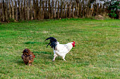 Free range chicken and rooster on soil in farm.
