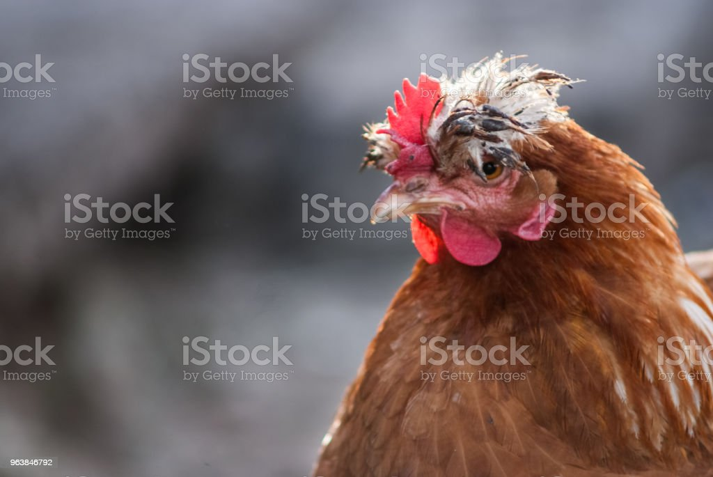 Free range chicken. Close up portrait on a traditional poultry farm - Royalty-free Agriculture Stock Photo