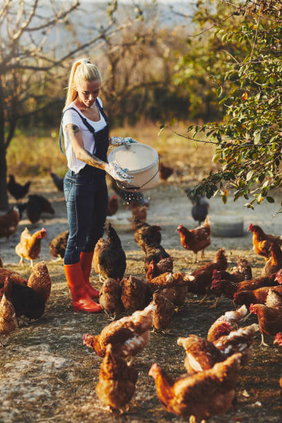 frigående kyckling gård - frigående bildbanksfoton och bilder
