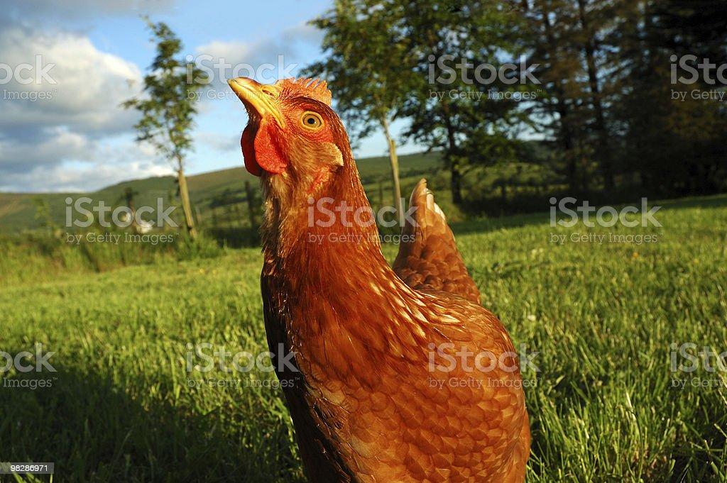 Free range chicken foraging at an organic farm. royalty-free stock photo