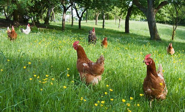 free range chicken on an organic farm. - frigående bildbanksfoton och bilder