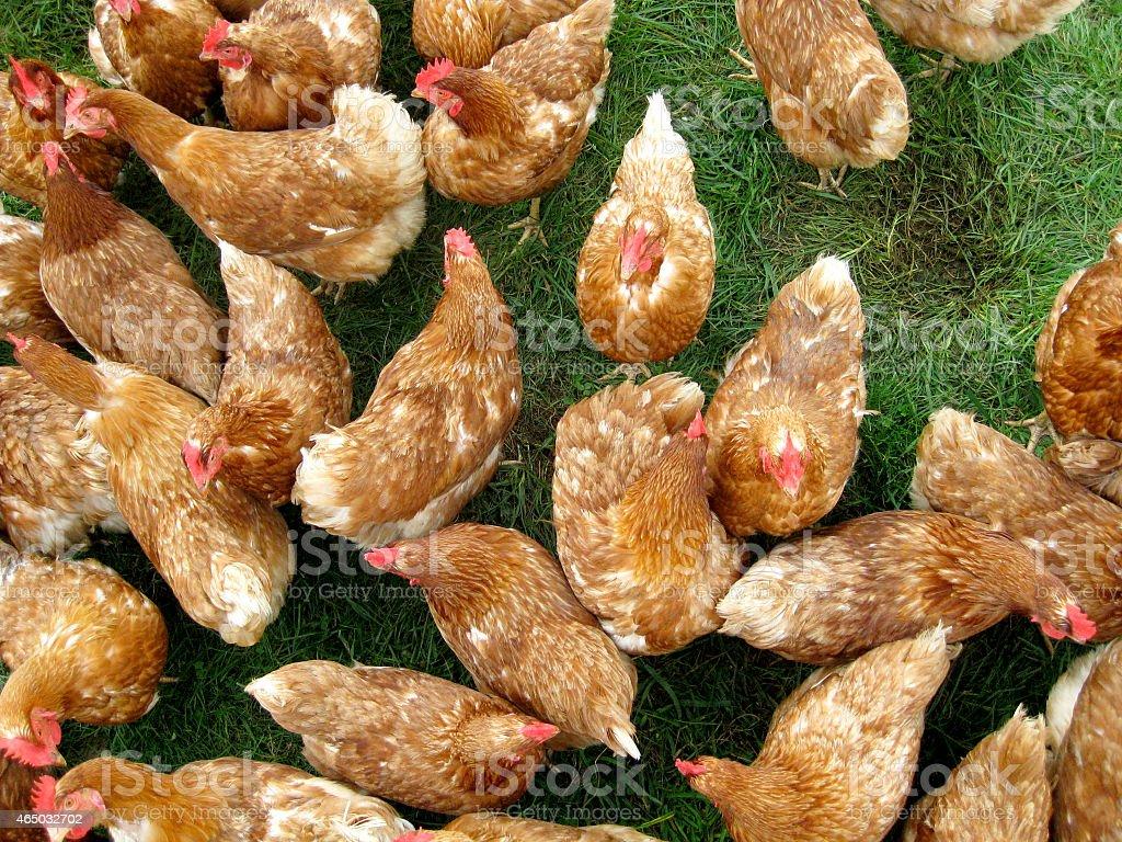 Free Range Chicken stock photo