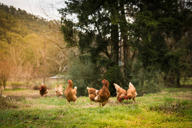 Free range chickens in at the farm in Australian countryside stock photo