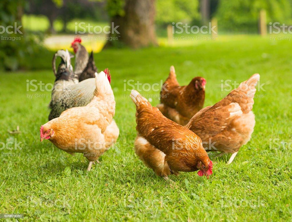 Free range chickens in springtime stock photo