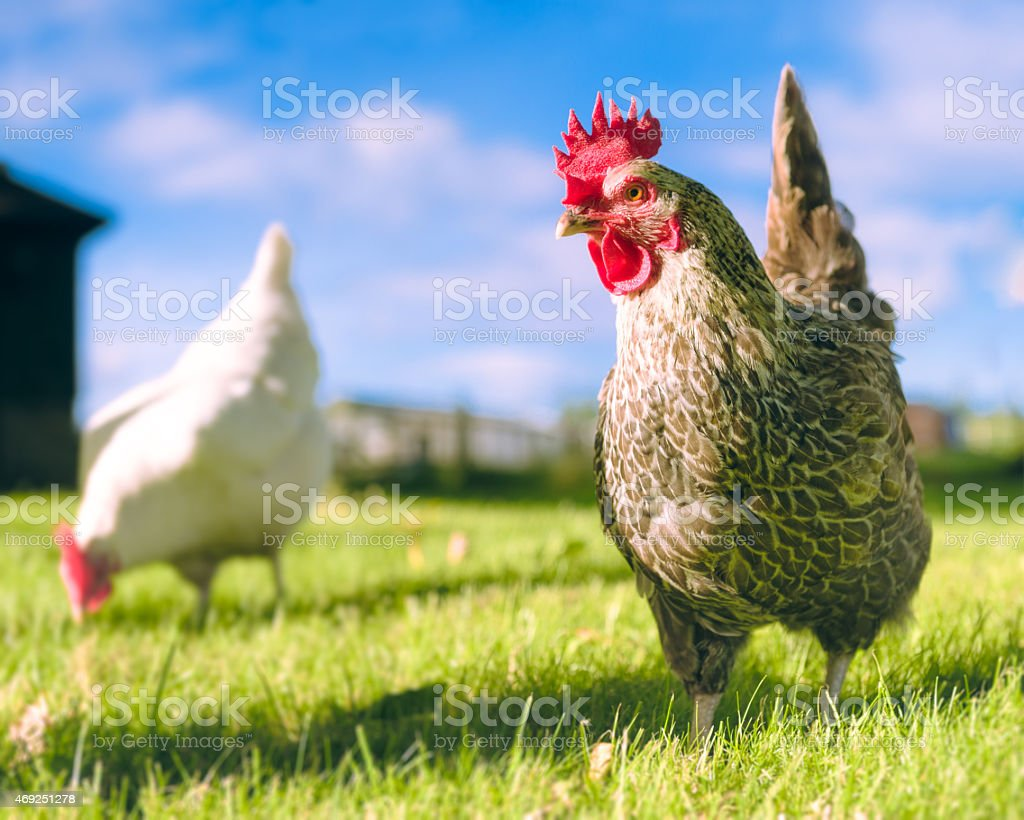 Free range chickens outdoors stock photo