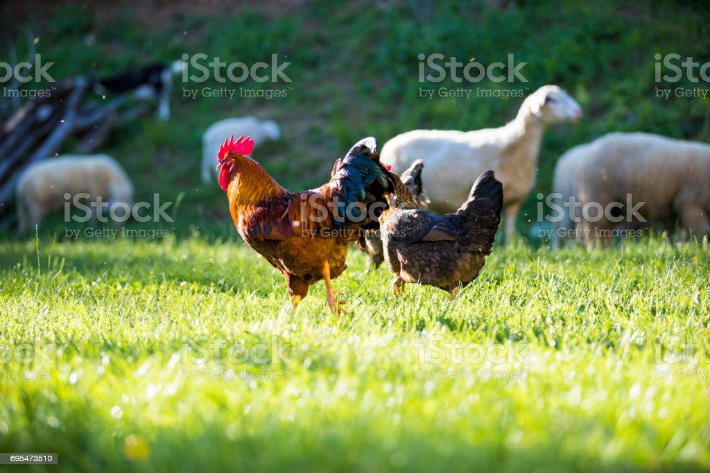 Free range chickens outdoors stock photo