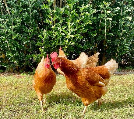 Horizontal up close of free range hens on organic biodynamic poultry farm pecking lush green lawn grass in Newrybar NSW Australia