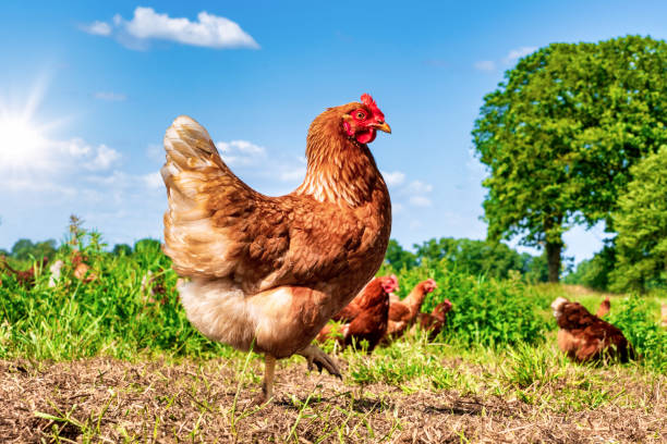 Free range chickens pecking in the grass, looking for food on a sunny day stock photo