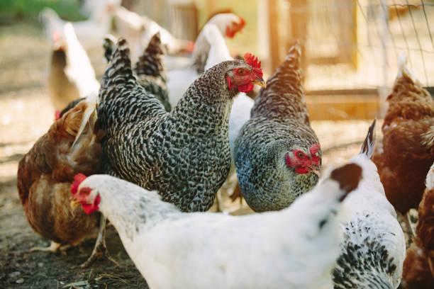 Free range chickens stock photo