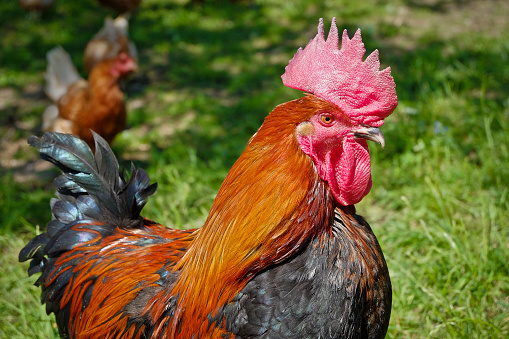 The proud rooster in the midst of his hen shah