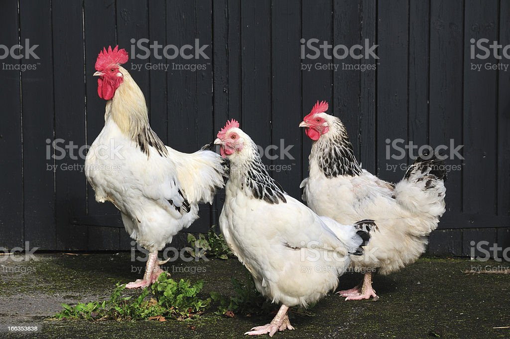 Free range Chickens. stock photo