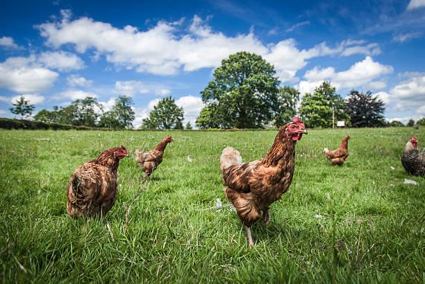 free range chickens - frigående bildbanksfoton och bilder