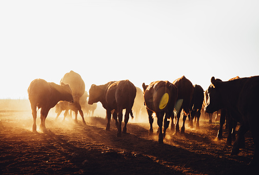 Free range brown cows grazing on dusty open land farm in sunrise with sun flare
