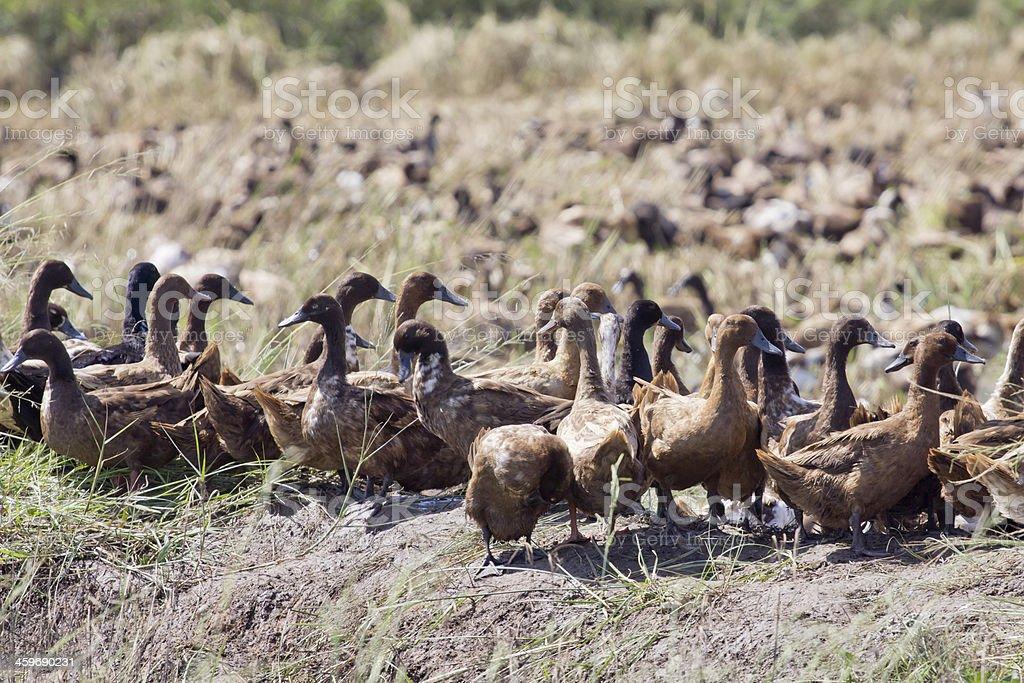 free range duck farm stock photo