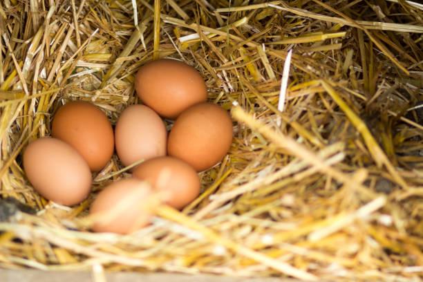 frigående ägg i ett rede - frigående bildbanksfoton och bilder
