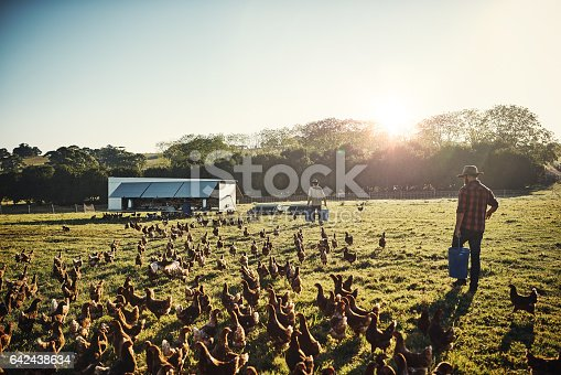 Shot of a young farmer tending to his flock of chickens in the field