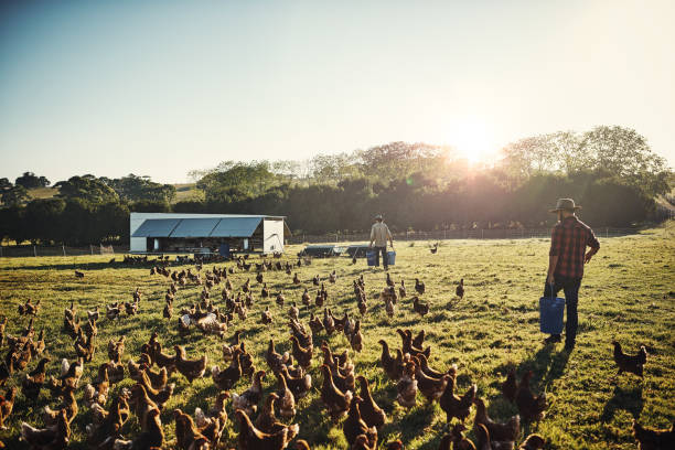 Free range farming is the only way to go Shot of a young farmer tending to his flock of chickens in the field poultry stock pictures, royalty-free photos & images