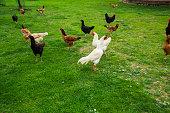 Free Range Foraging Chickens at Organic Farm