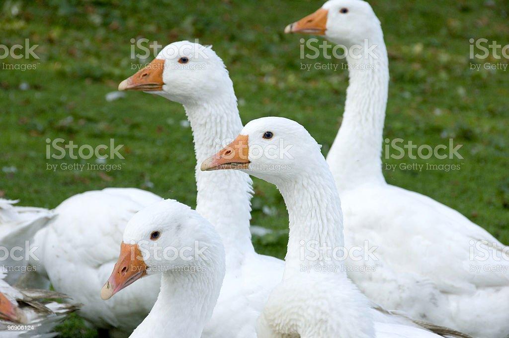 Free range geese royalty-free stock photo
