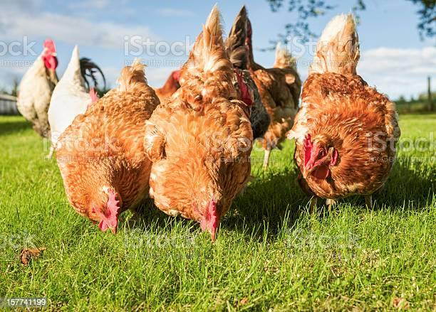 Photo of Free Range Hens Feeding