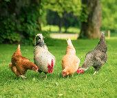 Free Range Hens Foraging Together