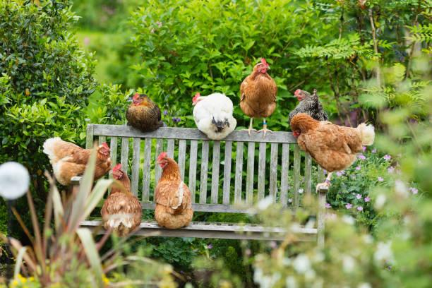 vrije uitloop kippen luieren in de tuin - neerstrijken stockfoto's en -beelden