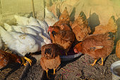 istock Free range living chicken on  farm. Hens  roam freely in green paddock 1161617161