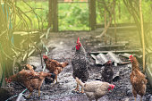 istock Free range living chicken on  farm. Hens  roam freely in green paddock 1161617260