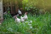 istock Free range living chicken on  farm. Hens  roam freely in green paddock 1161617390