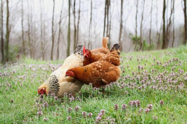 fritt sortiment ekologiska kycklingar i vårtid - frigående bildbanksfoton och bilder