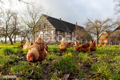 Free range organic chickens poultry in a country farm