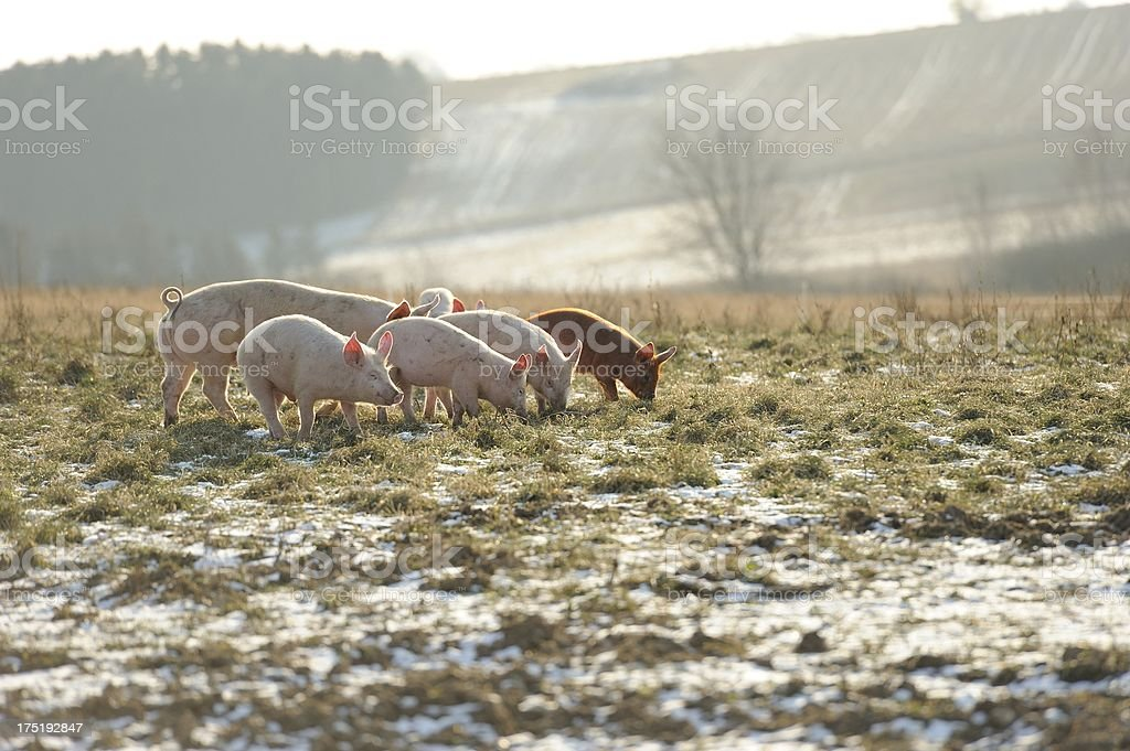 Free range organic pigs with curly tail in open field stock photo