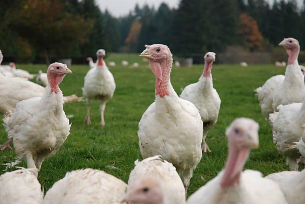 free range organic turkeys - frigående bildbanksfoton och bilder