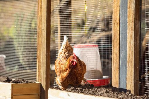 Free Range Pet Chickens In Australian backyard
