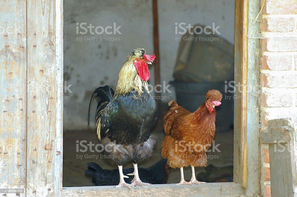 Free Range Poultry stock photo