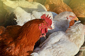 istock Free range rooster and hens eat on the farm 1161617177