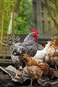 istock Free range Rooster and hens in the garden 1161617284