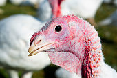 Free range turkeys in animated poses.