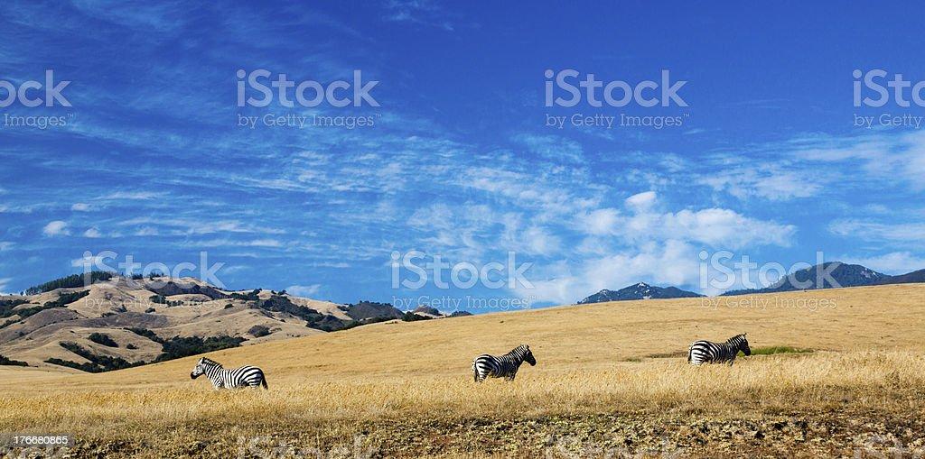 Free Range Zebras royalty-free stock photo
